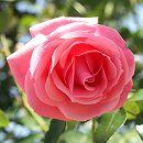 つるバラ:ラビィーニア新苗