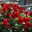 [17年5月中旬予約]つるバラ:ウルメールムンスター新苗