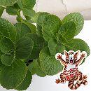 [17年5月中旬予約]コリウス:こっちに来ないで!(犬猫よけ植物)ティピカル緑葉3〜3.5号ポット
