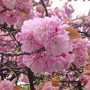 [4月下旬開花・濃紅色八重咲・花は桜湯に]桜:関山(カンザン)接木苗4〜5号ポット