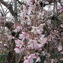 桜:吉野枝垂れ(ヨシノシダレ)接木苗4〜5号ポット