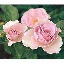 [17年5月中旬予約]四季咲中輪バラ:ブルーバユー新苗