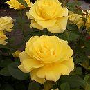 [17年5月中旬予約]四季咲中輪バラ:フリージア新苗