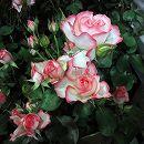 [17年5月中旬予約]四季咲中輪バラ:ニコール新苗