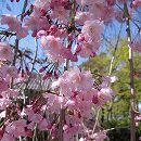 桜:八重紅枝垂れ接木苗4号ポット