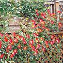 [17年5月中旬予約]つるバラ:カクテル新苗