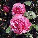 [17年5月中旬予約]つるバラ:レオナルドダビンチ新苗