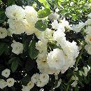 [17年5月中旬予約]つるバラ:サマースノー新苗