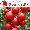 [17年4月中旬予約]イタリアントマト:アマルフィの誘惑3号ポット24株セット