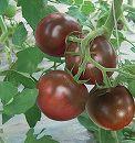 トマト:日本育ちの黒いトマト中玉3号ポット 2株セット