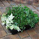 おためし4種12株セット:寄せ植えに便利なほふく性グリーンの苗