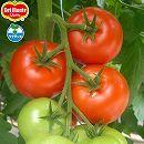 トマト(大玉):ぜいたくトマト3号ポット2株セット