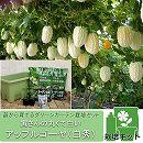 [17年4月中旬予約]苗から育てるグリーンカーテン栽培セット:寅さんの丸くて白いアップルゴーヤ(白秀)