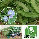 苗から育てるグリーンカーテン栽培セット:シカクマメ わこさま