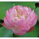 [17年5月中旬予約]花はす:ばい紅重台4.5号ポット