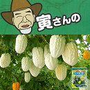[17年4月中旬予約]寅さんの丸くて白いアップルゴーヤ(白秀)3号ポット(肥料付)