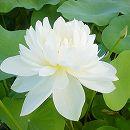 [17年5月中旬予約]花はす:白妙4.5号ポット