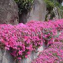 芝桜(シバザクラ):スカーレットフレーム3号ポット40株セット