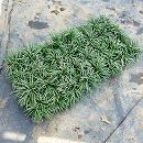 マット植物:リュウノヒゲ:玉竜(タマリュウ)のマット6枚入り