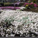 [送料無料]芝桜(シバザクラ):カルビデスホワイト3号ポット80株セット