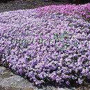 [送料無料]芝桜(シバザクラ):オーキントンブルーアイ3号ポット80株セット