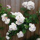 [17年5月中旬予約]つるバラ:スプリング・メルヘン新苗