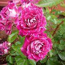 [17年5月中旬予約]四季咲中輪バラ:レッツ・セレブレイト新苗