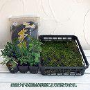 苔玉キット(6個分):苗とコケと用土のセット