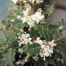 [極小葉で香りのよい白花を11月頃に咲かせる柊]ヒイラギ:香姫3号ポット