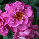 ギヨーローズ:レスポワール大苗角鉢植え