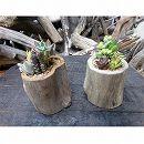 流木ポット Lサイズ2点セット(多肉植物4品種寄せ植えの流木フラワーポット)