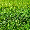 芝の種:西洋芝バミューダグラス ミラージュ2(ツー)  1kg