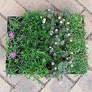 おためし4種12株セット:乾燥に強い日なたのグランドカバー植物1
