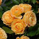 [17年5月中旬予約]デルバールローズ:ラ・ドルチェ・ヴィータ新苗4号鉢植え