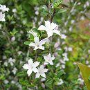 ハクチョウゲ(白丁花)5号ポット8株セット