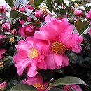 寒椿(カンツバキ):ハイカン(這寒椿)赤花6号ポット樹高20〜30cm 6株セット