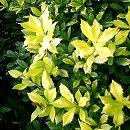 西洋ヒイラギ:サニーフォスター樹高1.2m根巻き