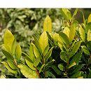 ゲッケイジュ(月桂樹):オーレア 樹高0.9m 根巻き