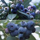 群馬県産品種ブルーベリー2種セット3号ポット(あまつぶ星・はやばや星)