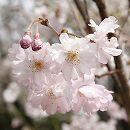 桜:熊谷(クマガイ)接木苗5号ポット