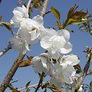 桜:上匂(ジョウニオイ)接木苗5号ポット