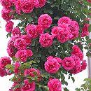 [17年5月中旬予約]つるバラ:ローズうらら新苗