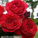 [17年5月中旬予約]四季咲中輪バラ:ジークフリート新苗