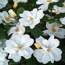 [17年5月中旬予約]四季咲中輪バラ:ホワイトノックアウト新苗