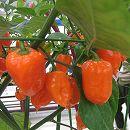 [野菜タネ]とうがらし(唐辛子):ハバネロ オレンジ