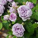 [17年5月中旬予約]ロサ・オリエンティス:ル・シエル・ブルー新苗4号鉢植え