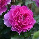 [17年5月中旬予約]ロサ・オリエンティス:シェエラザード新苗4号鉢植え