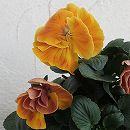 八重咲きパンジー:フェアリーチュール ベルリン11cmポット
