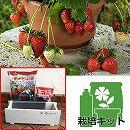 イチゴ栽培セット:四季なりいちご夏姫・木製プランター栽培セット
