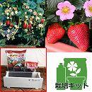 イチゴ栽培セット:四季なりいちご桃娘